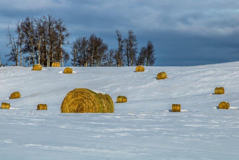 Balle di fieno in un campo nevoso, cowboy Trail, Alberta, Canada immagine stock