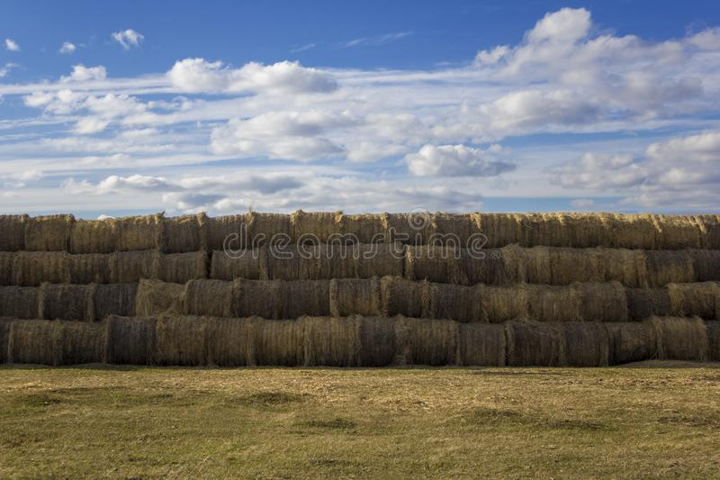 Balle rotonde un la pila di bugia gialla asciutta del fieno nelle file regolari su un prato di erba contro un cielo blu e le nuvo fotografia stock