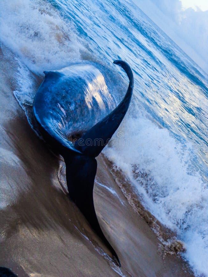 ballena azul imágenes de archivo libres de regalías