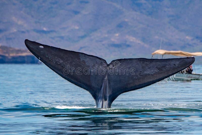 Ballena azul el animal más grande del mundo imagen de archivo