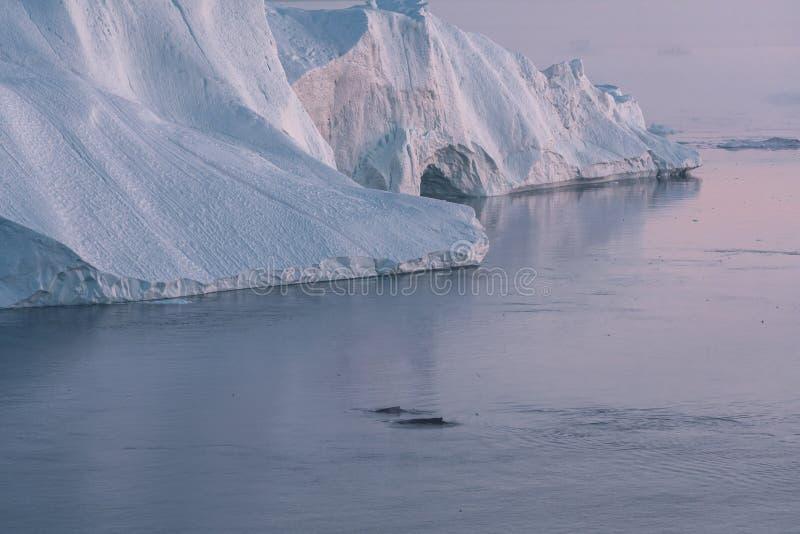 3 ballena jorobada bucear cerca de Ilulissat entre icebergs durante el sol rosa de medianoche Amanecer y atardecer Su fuente es l fotos de archivo