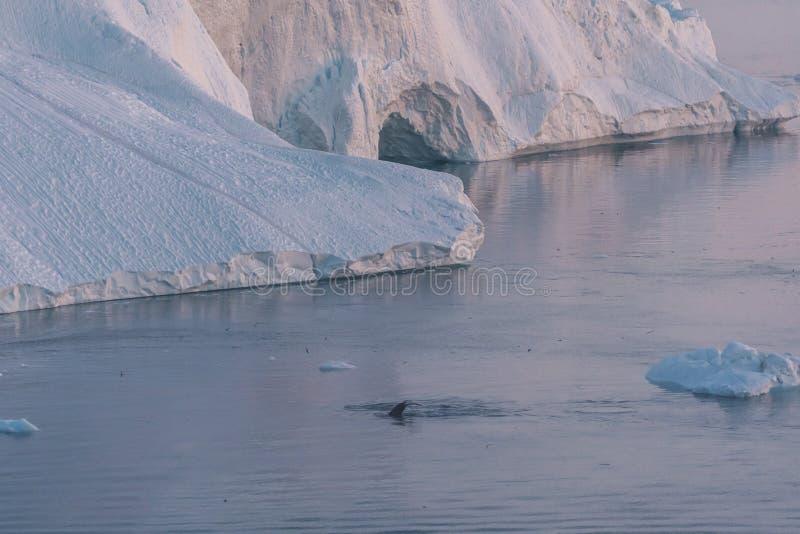 3 ballena jorobada bucear cerca de Ilulissat entre icebergs durante el sol rosa de medianoche Amanecer y atardecer Su fuente es l imagen de archivo