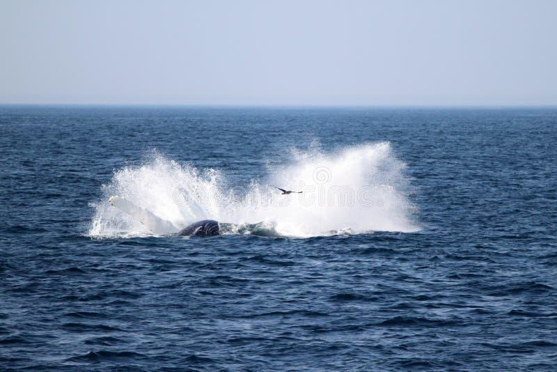 Ballena jorobada en Atlántico cerca de Boston imagenes de archivo