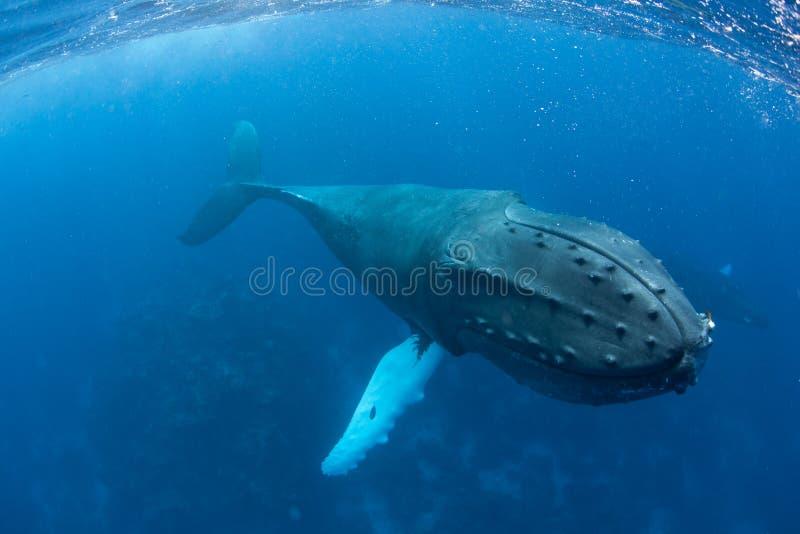 Ballena jorobada enorme en agua azul fotos de archivo libres de regalías