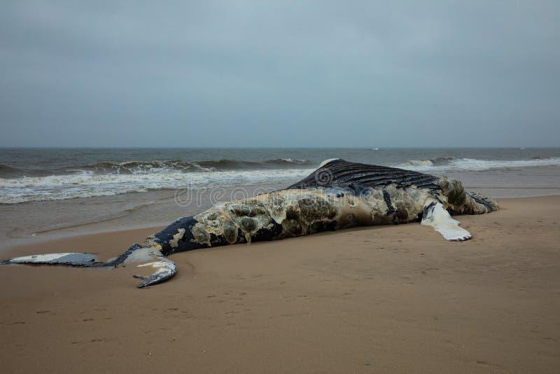 Ballena jorobada femenina muerta en la isla del fuego, Long Island, playa, con la arena en primero plano y Océano Atlántico en fo fotos de archivo