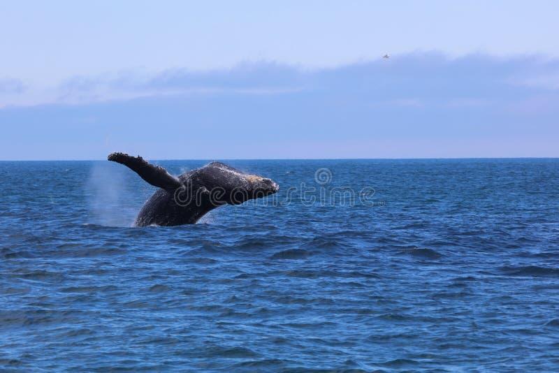 Ballena jorobada que viola el agua de salto en el Océano Pacífico Alaska imagenes de archivo