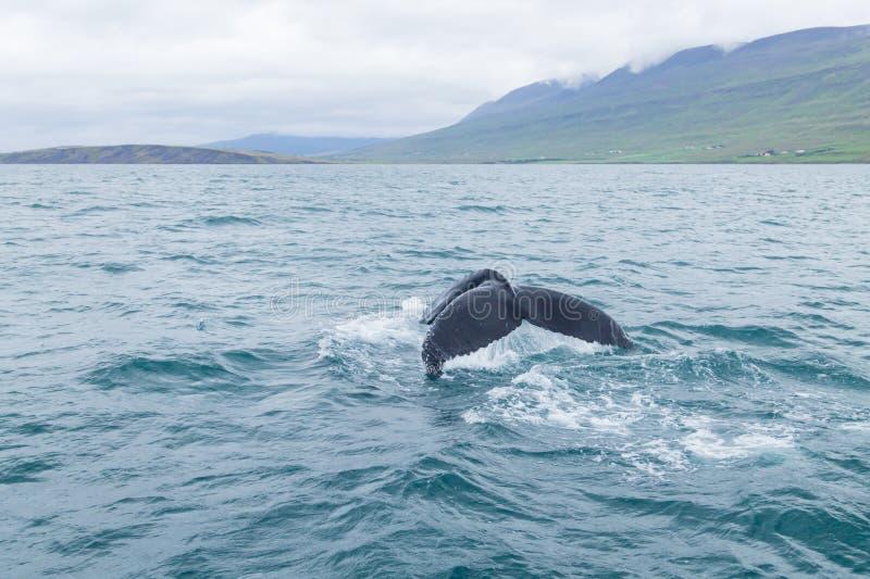 Ballena que mira de Akureyri, Islandia Ballena en naturaleza imagen de archivo libre de regalías