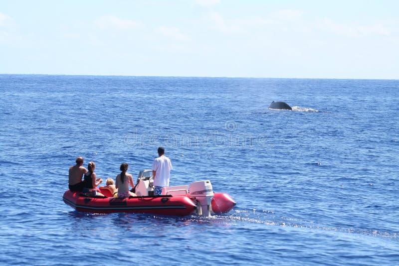 Ballena que mira de un barco inflable foto de archivo