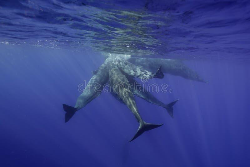 Ballenas de esperma subacuáticas imagenes de archivo