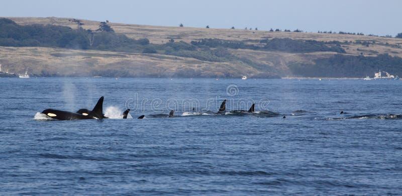 Ballenas de la orca imágenes de archivo libres de regalías