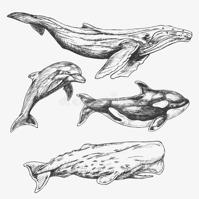 Ballenas fijadas Ilustración drenada mano Ballena jorobada, orca, ballena de esperma, delfín libre illustration