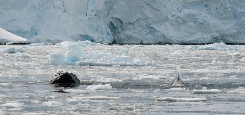 Ballenas jorobadas que emergen a través del hielo quebrado, península antártica fotografía de archivo