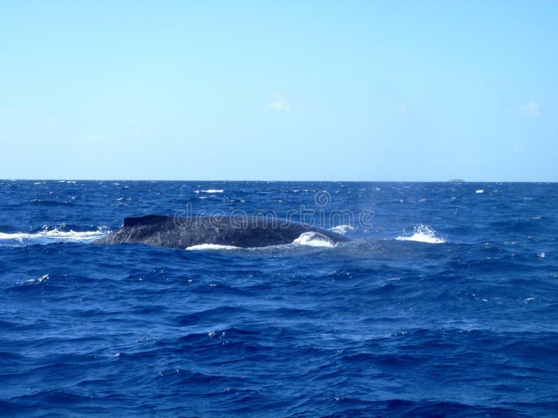 Ballenas jorobadas, Vava'u, Tonga fotografía de archivo libre de regalías