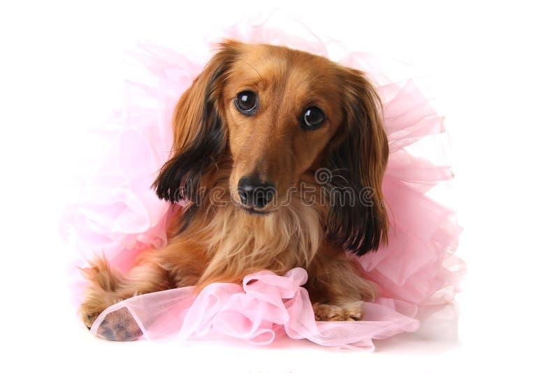 Ballerina dachshund royalty free stock images