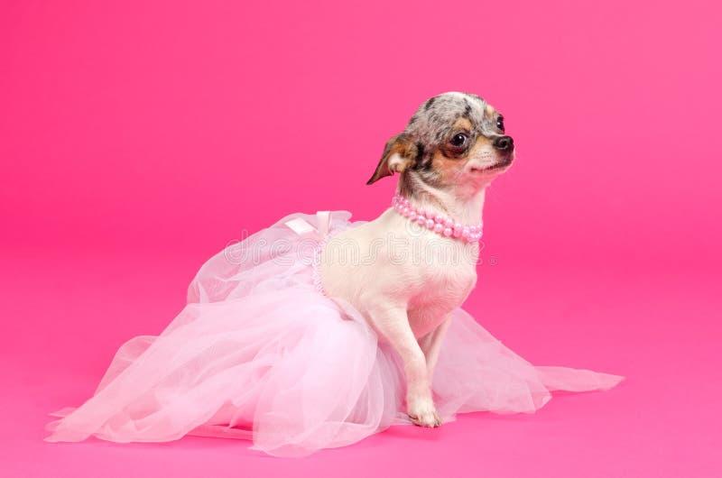 Ballerina elegante della chihuahua fotografie stock