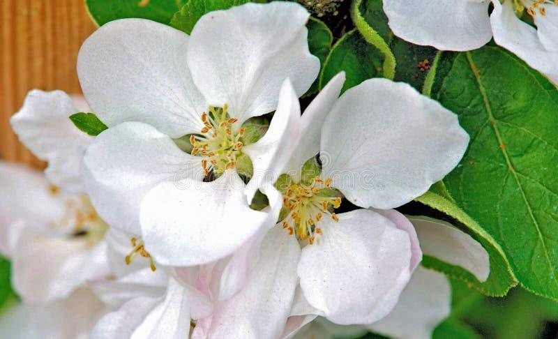 Ballerine Apple - Charlotte - fleurs de ressort images libres de droits