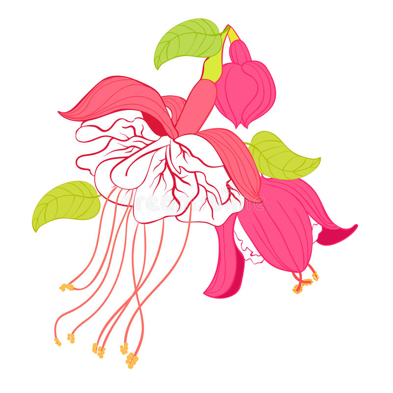 Ballerine fuchsia d'hybride de fleur Illustration de vecteur illustration de vecteur