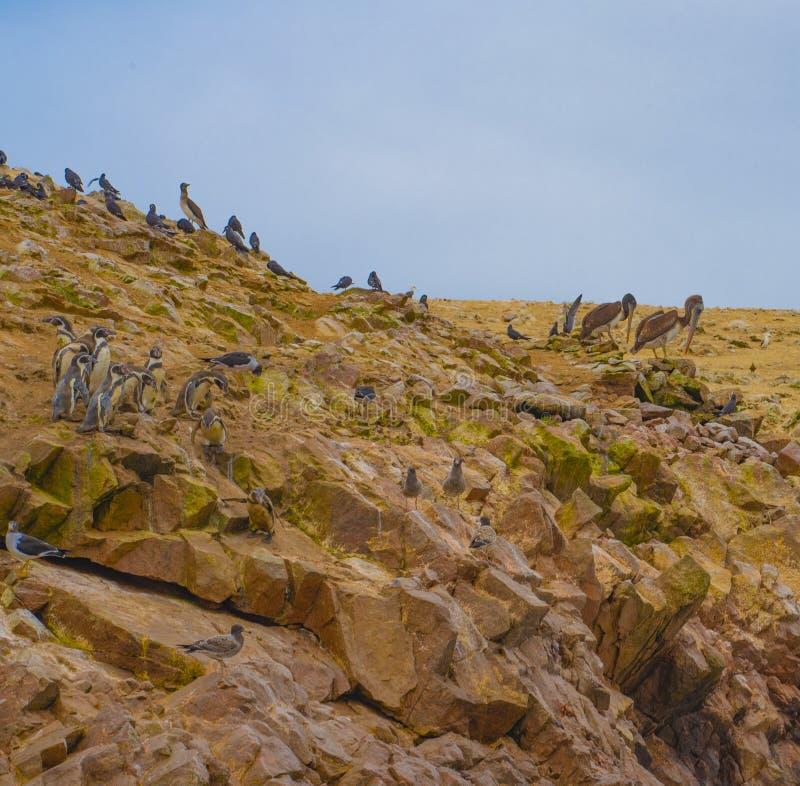 Ballestas海岛捕鸟的人天堂 库存图片