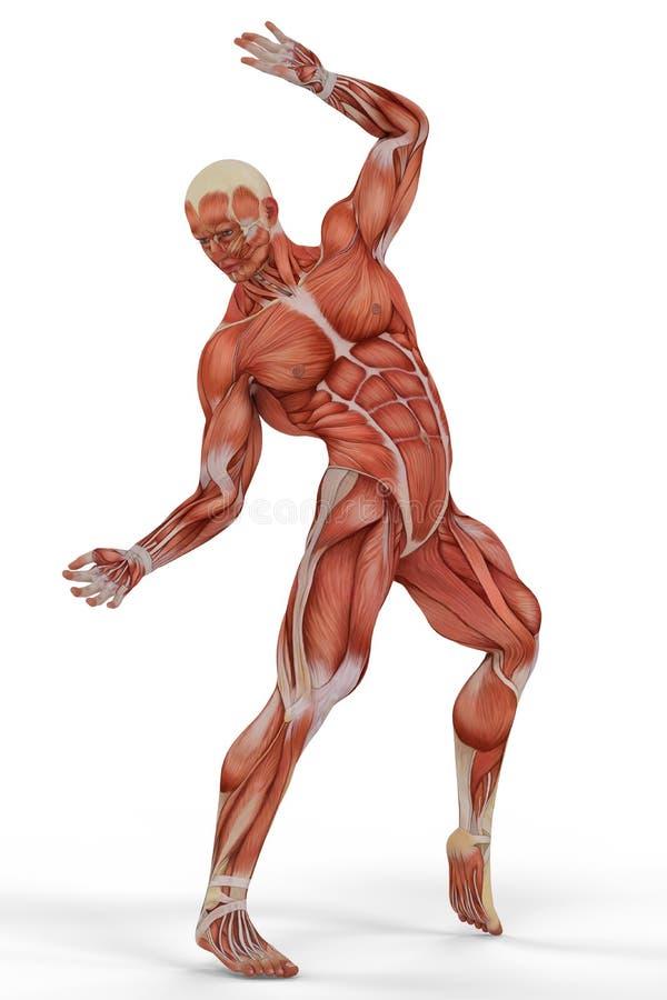 Ballet 2 van de spier medisch mens stock illustratie