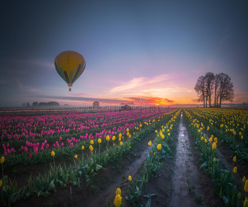 Ballon à air chaud jaune au-dessus de champ de tulipe dans le tranquili de matin images stock