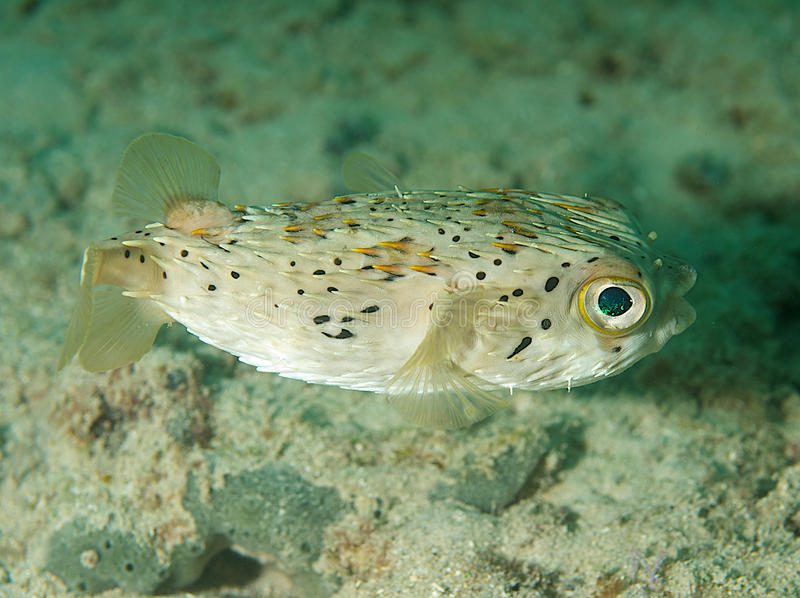 Balloonfish. Diodon holocanthus, picture taken in south east Florida royalty free stock images