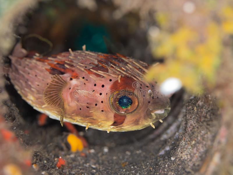 Balloonfish, Diodon holocanthus. Scuba diving in North Sulawesi, Indonesia. Balloonfish, Diodon holocanthus, in a discarded paint tin in Lembeh. Macro images of royalty free stock photography