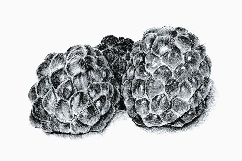 Ballpoint Illustration Of Raspberries stock photography