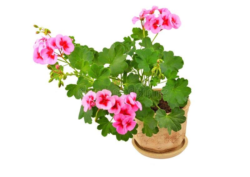 Balmy Geranium flower stock photos