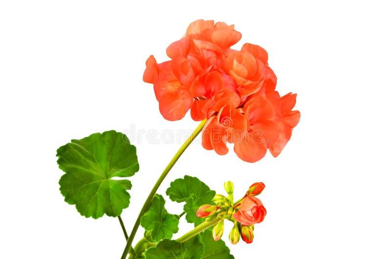 Balmy Geranium flower stock images