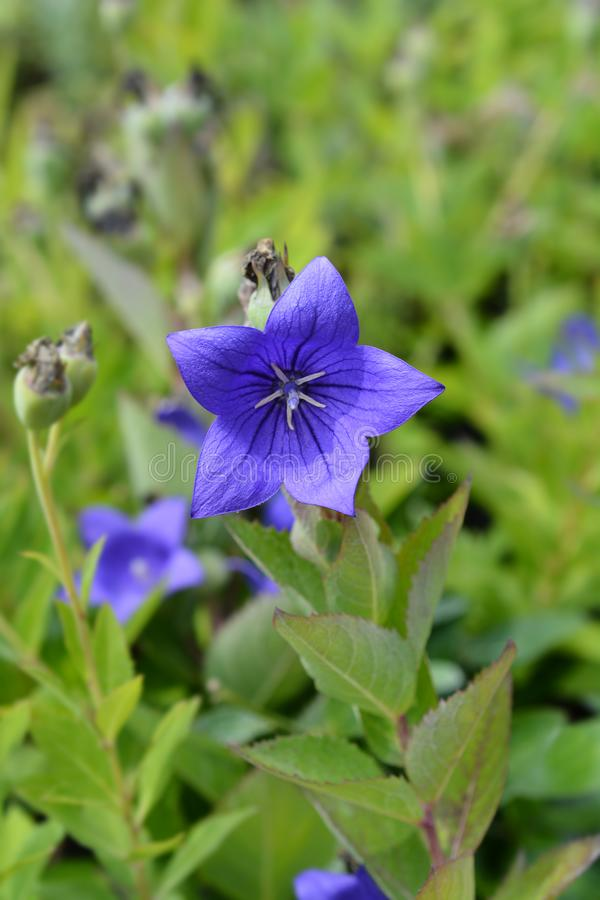 Baloon flower Mariesii. Blue Baloon flower Mariesii - Latin name - Platycodon grandiflorus Mariesii stock photos