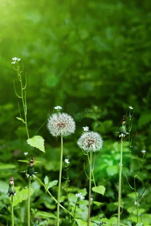 balowy ciosu dandelion kwiat zdjęcia royalty free