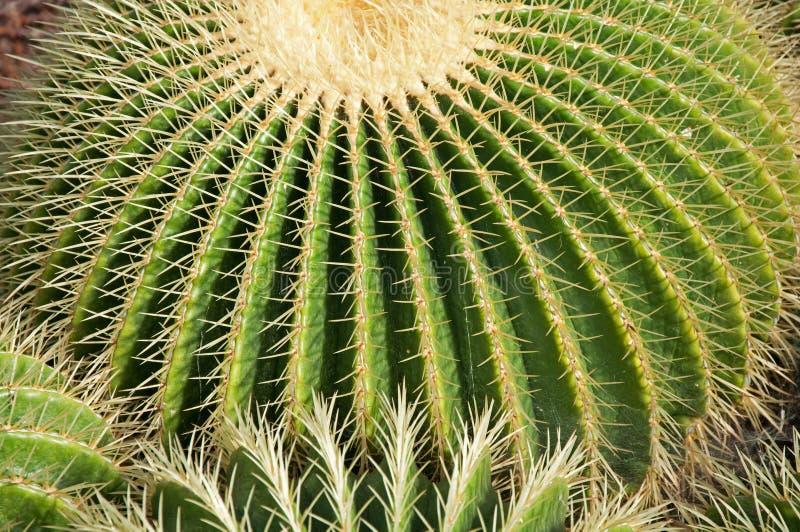 balowy kaktus zdjęcie royalty free