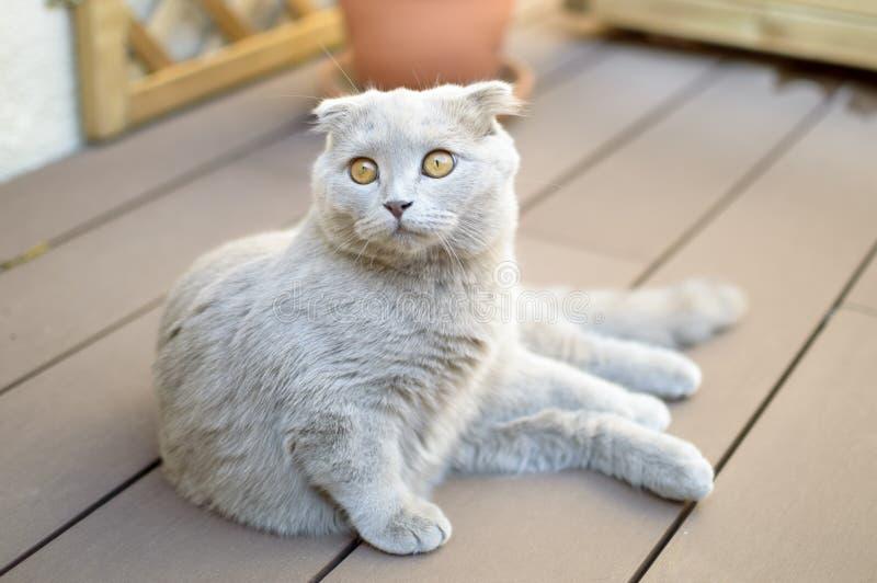 balowy kota fałdu scottish obrazy royalty free