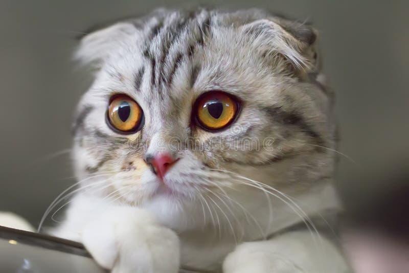 balowy kota fałdu scottish obraz stock
