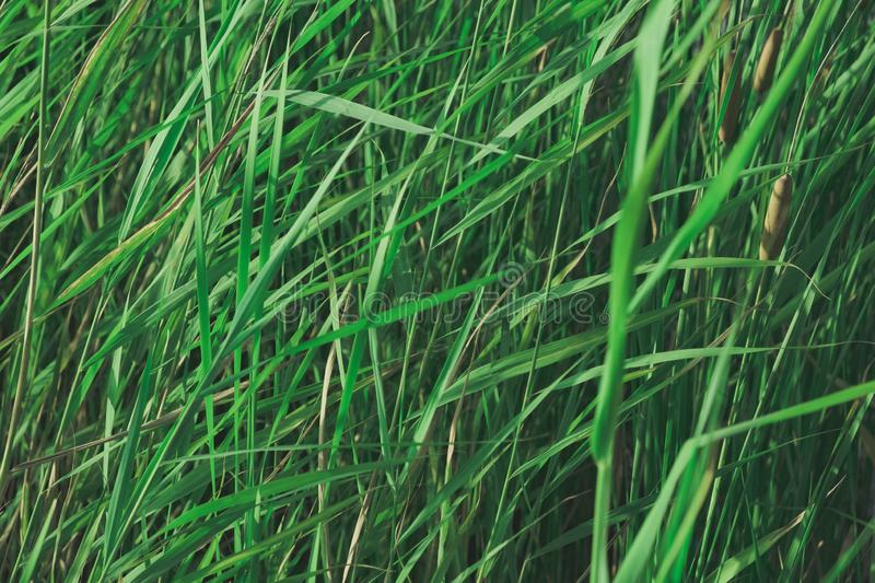 Bulrush plants in faded green colors. Calming nature details: sunlit lake cane, single-tone background image royalty free stock photo