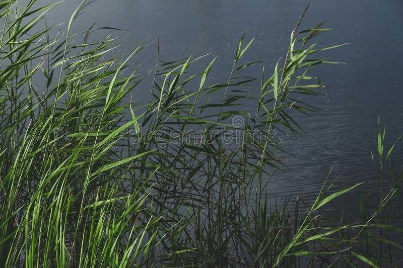Bulrush plants and a pond in faded green and blue colors. Calming nature details: sunlit lake cane and dark water royalty free stock image