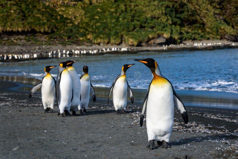 Balsa de rey Penguins que camina en la playa en St Andrews Bay, Georgia del sur foto de archivo