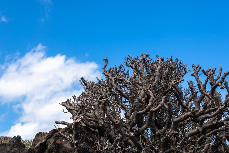 BalsamÃfera doce do eufórbio da planta do tabaiba que cresce nas rochas com fundo do céu azul, Tenerife, Ilhas Canárias, Espanha  fotos de stock