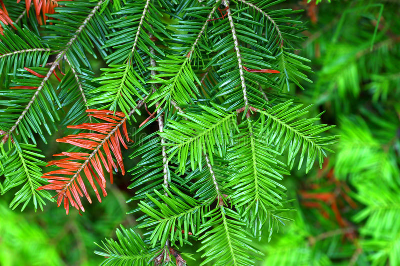 Balsam Fir (Abies balsamea) Needles. In the Northern Highland-American Legion State Forest of Wisconsin royalty free stock images