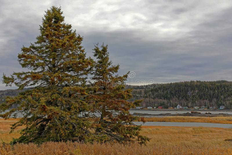 A balsam fir in the Bic National park Canada. Québec royalty free stock photos