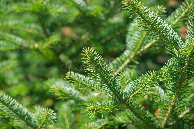 Balsam Fir tree tips. A close view of a balsam fir tree tip stock image