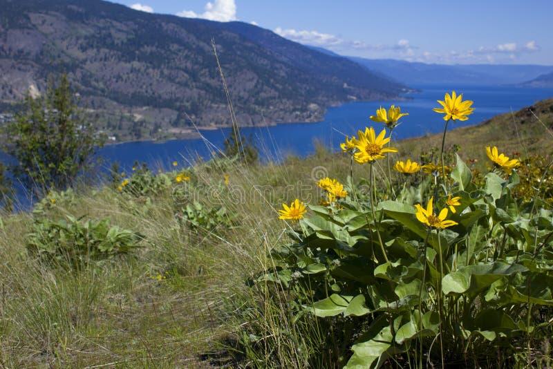 Balsam Root. In flower over the Okanagan Lake in Kelowna British Columbia stock photos