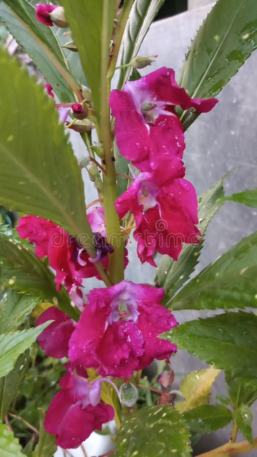 Balsam. Rose balsam pink colour royalty free stock photos