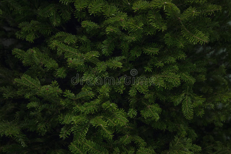 Balsam Spruce Christmas Tree. Close up background shot of branches of a Balsam Spruce Christmas Tree ready for decoration royalty free stock images