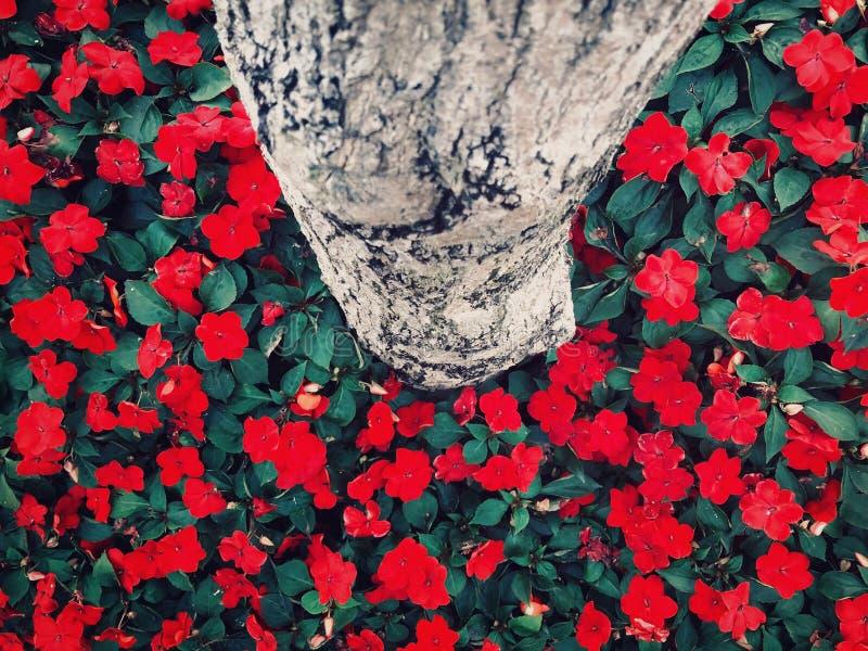 Balsamina de Impatiens imagens de stock royalty free