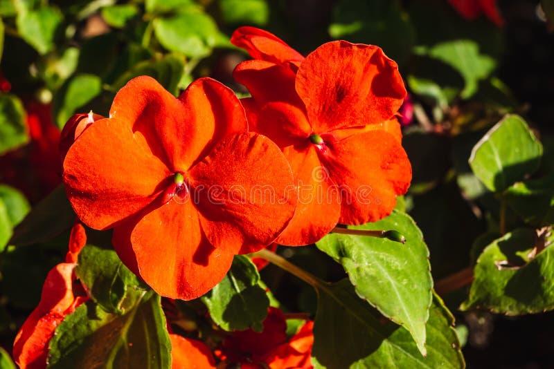 Balsamine oder Neu-Guinea impatiens rote Blumen im Sommer auf dem dunklen Hintergrund lizenzfreie stockbilder