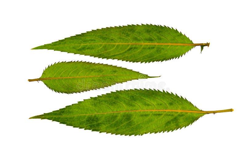 Balsamo himalayano urgente e secco delle foglie Isolato fotografia stock