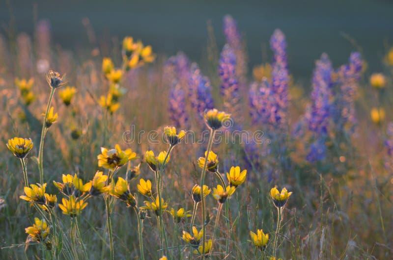 Balsamorhiza en Lupine, Gouden Uurlicht, de Heuvels van de Paardhemel, Oostelijk Washington stock foto's