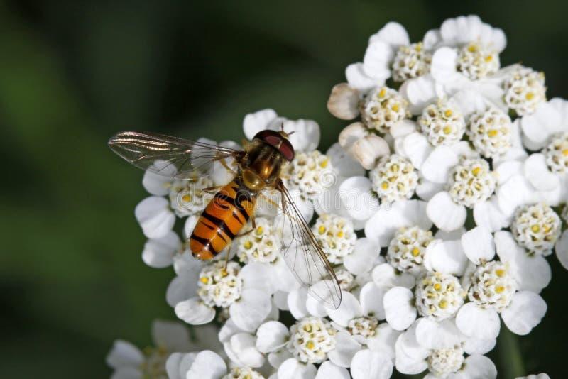 Balteatus di Episyrphus, mosca di Syrphid sulla fioritura del millefoglio fotografie stock libere da diritti