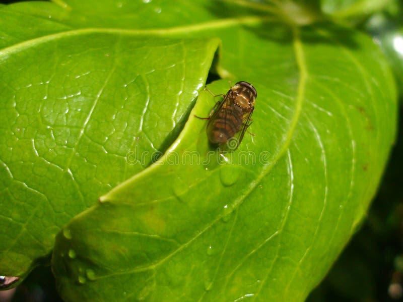 Balteatus Hoverfly Episyrphus, Marmeladen-Fliege, auf Blatt stockfotografie
